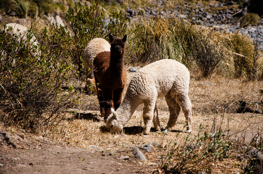 Alpacas, Peru, Martin Walther Foto & IT