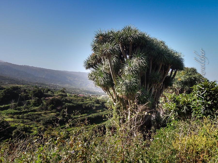 Drachenbäume, La Palma, La Isla Bonita
