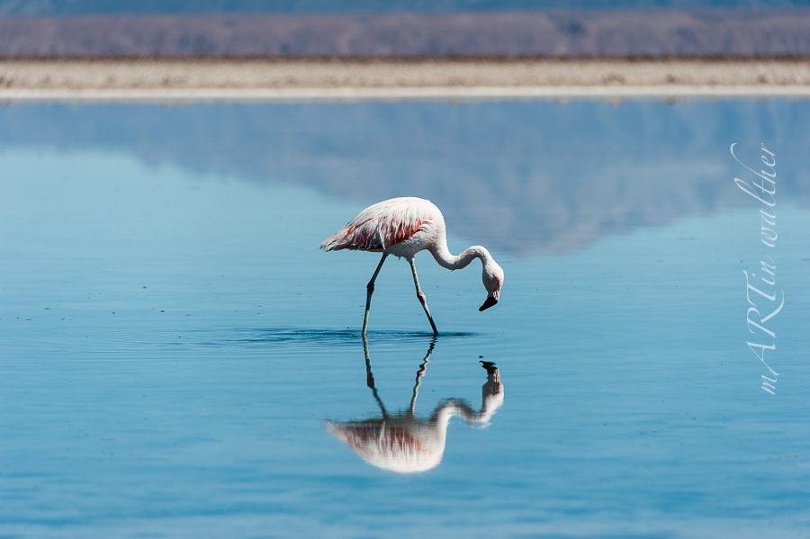 Flamingos in der Laguna Chaxa